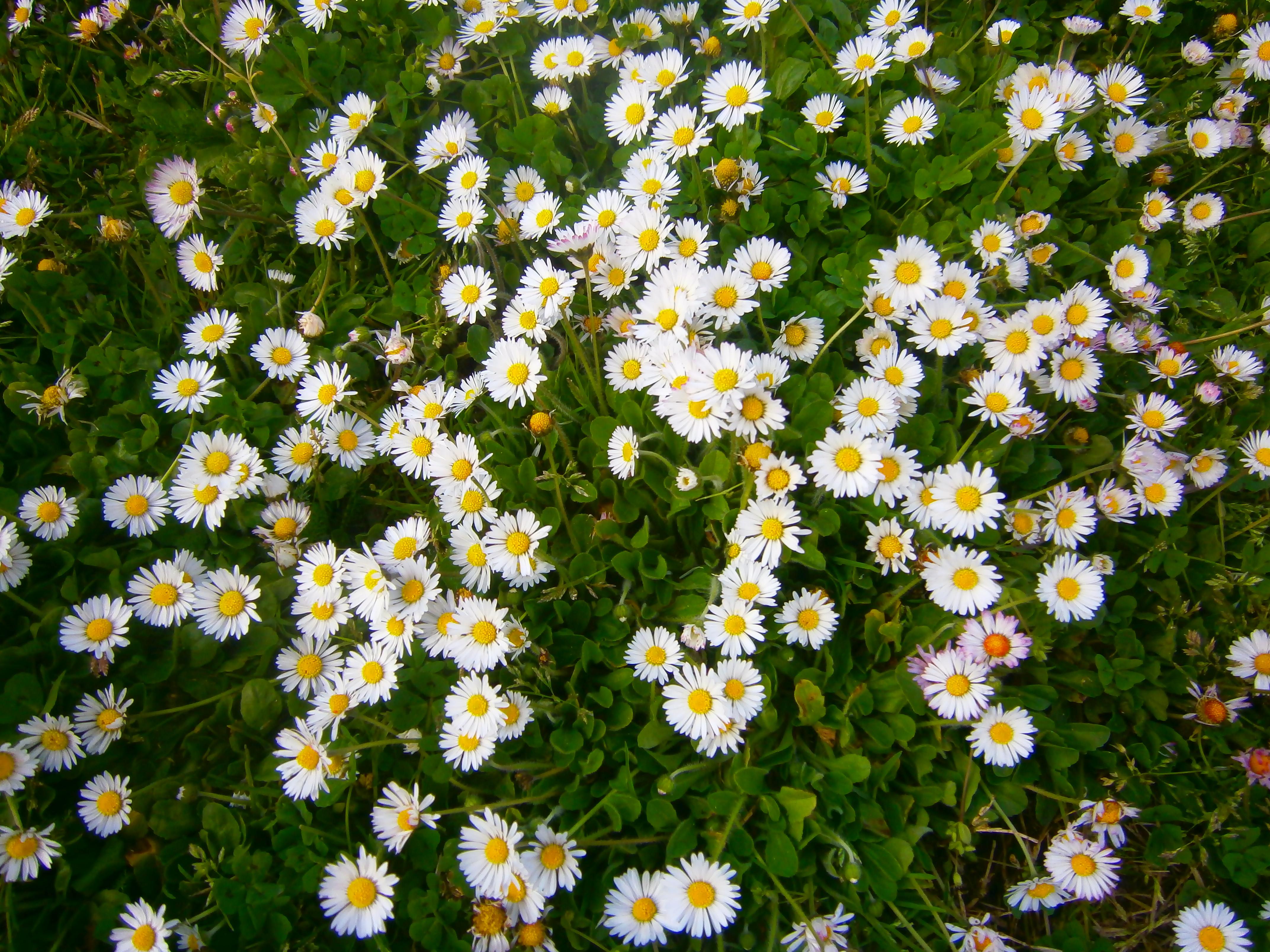 El lenguaje de las flores blog de angeles - Tipos de flores silvestres ...